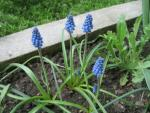 Grape Hyacinth Muscari aucheri  'Dark Eyes'
