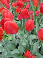 Tulipa     'Red Revival'  Tulip flowers