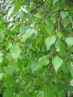 Betula pendula   white birch leaves