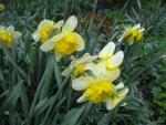 Narcissus  'Corly' - Daffodil