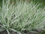 Miscanthus sinensis  'Cosmopolitan' - Chinese Silver Grass