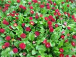 Bellis perennis   'Rominette Red'  English Daisy plant
