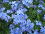 Myosotis sylvatica      'Bluesylva'  Wood Forget-me-not flowers