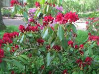 Rhododendron 'Lagerfeuer'  Rhododendron plant