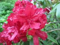 Rhododendron  'Lagerfeuer'  Rhododendron flowers