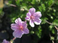 Pumpava 'County park' (Erodium variabile)