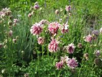 Aquilegia vulgaris 'Tower Light Pink'  Columbine plant