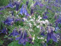 Aquilegia x hybrida  'Spring Magic Mix' - Columbine