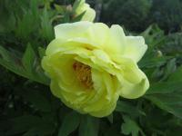 Pivoňka 'High Noon' (Paeonia lemoinei)