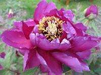 Paeonia suffruticosa 'Duchess of Marlborough'  Moutan Peony flowers