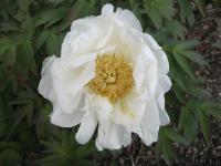 Paeonia suffruticosa  'Mrs. Shirley Fry'  Moutan Peony flowers