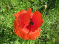 Papaver rhoeas   Common Poppy flowers
