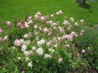 Aquilegia x hybrida  'Tower Light Pink' - Columbine