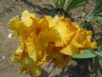 Iris barbata 'Saffron Robe'  Bearded Iris flowers