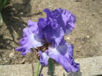 Iris barbata 'Showy Devil'  Bearded Iris flowers