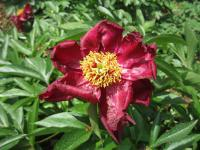 Paeonia lactiflora        'Lights Out'  Chinese Peony flowers