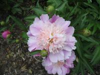 Paeonia lactiflora 'English Princess'  Chinese Peony flowers