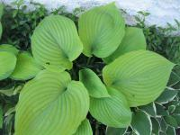 Hosta   Plantain Lily leaves
