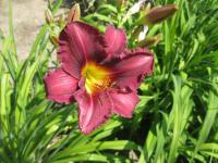 Hemerocallis 'Olive Bailey Langdon'  Daylily flowers