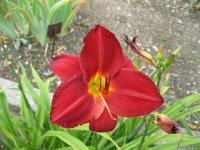 Hemerocallis 'Chicago Brave'  Daylily flowers