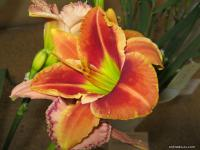 Hemerocallis hybrida 'Fire and Fog'  Daylily flowers