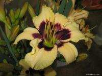 Hemerocallis hybrida 'Piano Man'  Daylily flowers