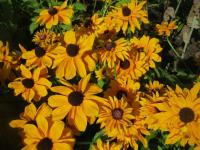 Rudbeckia hirta   'Goldilocks'  Black-eyed Susan flowers