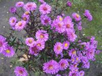 Symphyotrichum novae-angliae  'Kate Bloomfield' - New England Aster