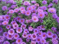 Symphyotrichum novae-angliae   'Purple Dome'  New England Aster flowers