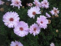 Aster dumosus  'Judith'  - Rice Button Aster