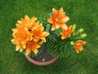 Lilium x hybridum 'Tiny Double You'  Lily plant