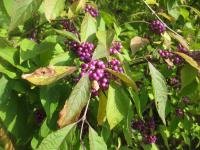 Callicarpa bodinieri   'Profusion'   giraldii beautyberry fruits