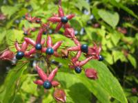 Clerodendrum trichotomum   Harlequin Glorybower fruits