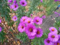 Symphyotrichum novae-angliae  'Andenken an Paul Gerber'  New England Aster plant