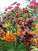 Lilium x hybridum 'Night Flyer'  Lily plant
