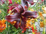 Lilium x hybridum           'Night Flyer'  Lily flowers