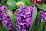 Hyacinthus orientalis  'Miss Saigon' - Common Hyacinth