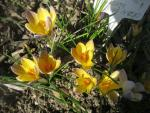 Crocus chrysanthus 'Advance'  Golden Crocus plant