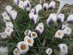 Crocus chrysanthus  'Prins Claus'  Golden Crocus plant