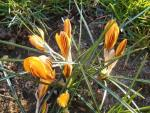 Crocus chrysanthus  'Dorothy' - Golden Crocus
