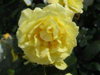 Rosa 'Sunstar'  Rose flowers