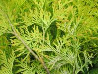 Thuja occidentalis  'Yellow Ribbon'  Eastern Arborvitae twings