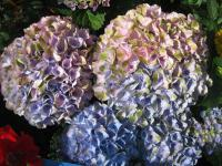 (Hydrangea macrophylla) Hortenzie velkolistá 'Magical Four Seasons'