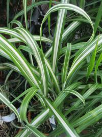 Miscanthus sinensis   'Cabaret'  Chinese Silver Grass leaves