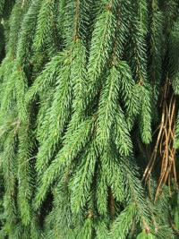 Picea abies  'Bohemica Pendula'  Norway spruce plant