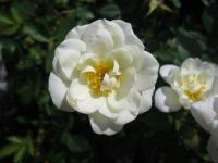 Rosa 'Pyrenees'  Rose flowers