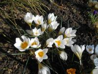 Crocus chrysanthus   'Snow Bunting'  Golden Crocus plant