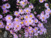 Aster dumosus  'Rozika' - Rice Button Aster