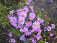 Aster dumosus  'Alice Haslam' - Rice Button Aster
