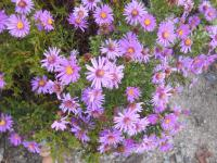 Aster dumosus  'Alice Haslam'  Rice Button Aster plant